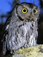 Western Screech-Owl - Bird Species | Frinvelis jishebi | ფრინველის ჯიშები