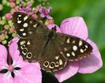Speckled Wood | Butterfly species