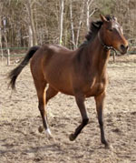 Anglo Arab | Horse | Horse Breeds