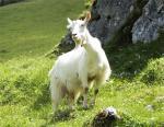 Appenzell goat - Goats Breeds | txis jishebi | ???? ??????