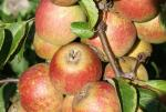 Tydeman's Late Orange | Apple Species