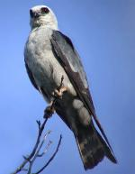 Mississippi Kite  - Bird Species | Frinvelis jishebi | ფრინველის ჯიშები