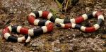 SONORAN CORALSNAKE  <br />Micruroides euryxanthus | Snake Species