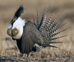Gunnison Sage-Grouse - Bird Species | Frinvelis jishebi | ფრინველის ჯიშები