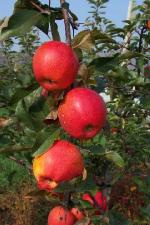 Autumn Gala | Apple Species