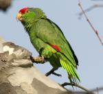 Red-crowned Parrot - Bird Species | Frinvelis jishebi | ფრინველის ჯიშები