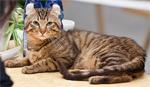 American Curl | კატა | კატები | კატის ჯიშები