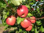 Fuji (Brak Cltv) | Apple Species