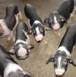 Ningxiang - pig breeds | goris jishebi | ღორის ჯიშები