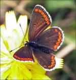 Brown Argus - Butterfly species | PEPLIS JISHEBI | პეპლის ჯიშები
