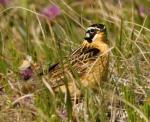Smith's Longspur - Bird Species | Frinvelis jishebi | ფრინველის ჯიშები