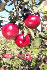 Snapp Stayman - Apple Varieties list a - z