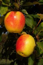 SunCrisp - Apple Varieties list a - z