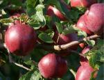 Spartan - Apple Varieties list a - z
