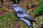 Fork-tailed Storm-Petrel - Bird Species | Frinvelis jishebi | ფრინველის ჯიშები