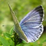 Holly Blue - Butterfly species | PEPLIS JISHEBI | პეპლის ჯიშები