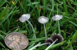 Coprinopsis friesii - Fungi Species