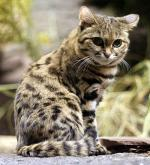 Black-Footed Cat - wild cats - lynx | ფოცხვერი | focxveri