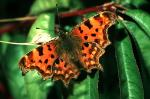 Comma - Butterfly species | PEPLIS JISHEBI | პეპლის ჯიშები