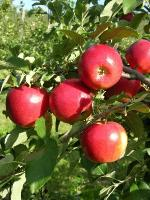 CrimsonCrisp - Apple Varieties list a - z