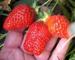 Kiewa | Strawberry Species