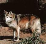 The Texas Gray Wolf - wolf species | mglis jishebi | მგლის ჯიშები