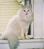 Turkish Angora | Cat | Cat Breeds