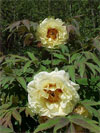 Age of Gold -                                                                                                                 Peonies Varieties | PIONI | პიონი