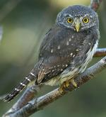 Northern Pygmy-Owl - Bird Species | Frinvelis jishebi | ფრინველის ჯიშები