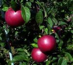 Hampshire Mac - Apple Varieties | vashlis jishebi | ვაშლის ჯიშები