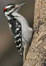Hairy Woodpecker - Bird Species | Frinvelis jishebi | ფრინველის ჯიშები