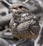 Lesser Nighthawk - Bird Species | Frinvelis jishebi | ფრინველის ჯიშები