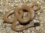 Tantilla planiceps - Western Black-headed Snake | Snake Species