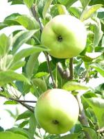Grimes Golden - Apple Varieties | vashlis jishebi | ვაშლის ჯიშები