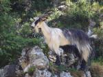 Corsican Goat - Goats Breeds | txis jishebi | თხის ჯიშები