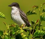 Eastern Kingbird - Bird Species | Frinvelis jishebi | ფრინველის ჯიშები