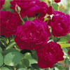 Darcey Bussell - Own Root - Rose Varieties | VARDI |  ვარდი