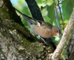 Common Chaffinch - Bird Species | Frinvelis jishebi | ფრინველის ჯიშები