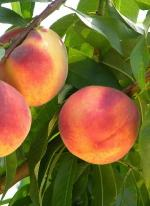 Salem | Peach Species