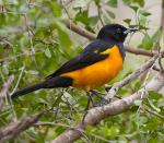 Black-vented Oriole - Bird Species | Frinvelis jishebi | ფრინველის ჯიშები