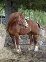 North Swedish | Horse | Horse Breeds