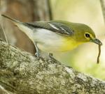 Yellow-throated Vireo - Bird Species | Frinvelis jishebi | ფრინველის ჯიშები