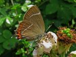 White-letter Hairstreak | Butterfly species