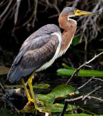 Tricolored Heron - Bird Species | Frinvelis jishebi | ფრინველის ჯიშები
