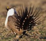 Greater Sage-Grouse - Bird Species | Frinvelis jishebi | ფრინველის ჯიშები