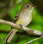 Acadian Flycatcher - Bird Species | Frinvelis jishebi | ფრინველის ჯიშები