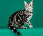 American Shorthair | კატა | კატები | კატის ჯიშები