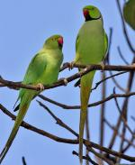 Rose-ringed Parakeet - Bird Species | Frinvelis jishebi | ფრინველის ჯიშები