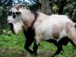 Kiko Goat - Goats Breeds | txis jishebi | თხის ჯიშები
