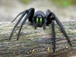 Tube Web Spider | Spider species